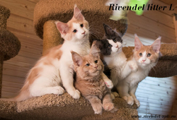 Rivendel litter L - 3 месяца